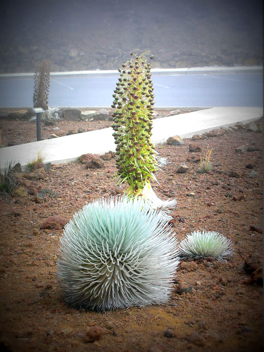 A Blooming Silversword - Haleakala crater Maui