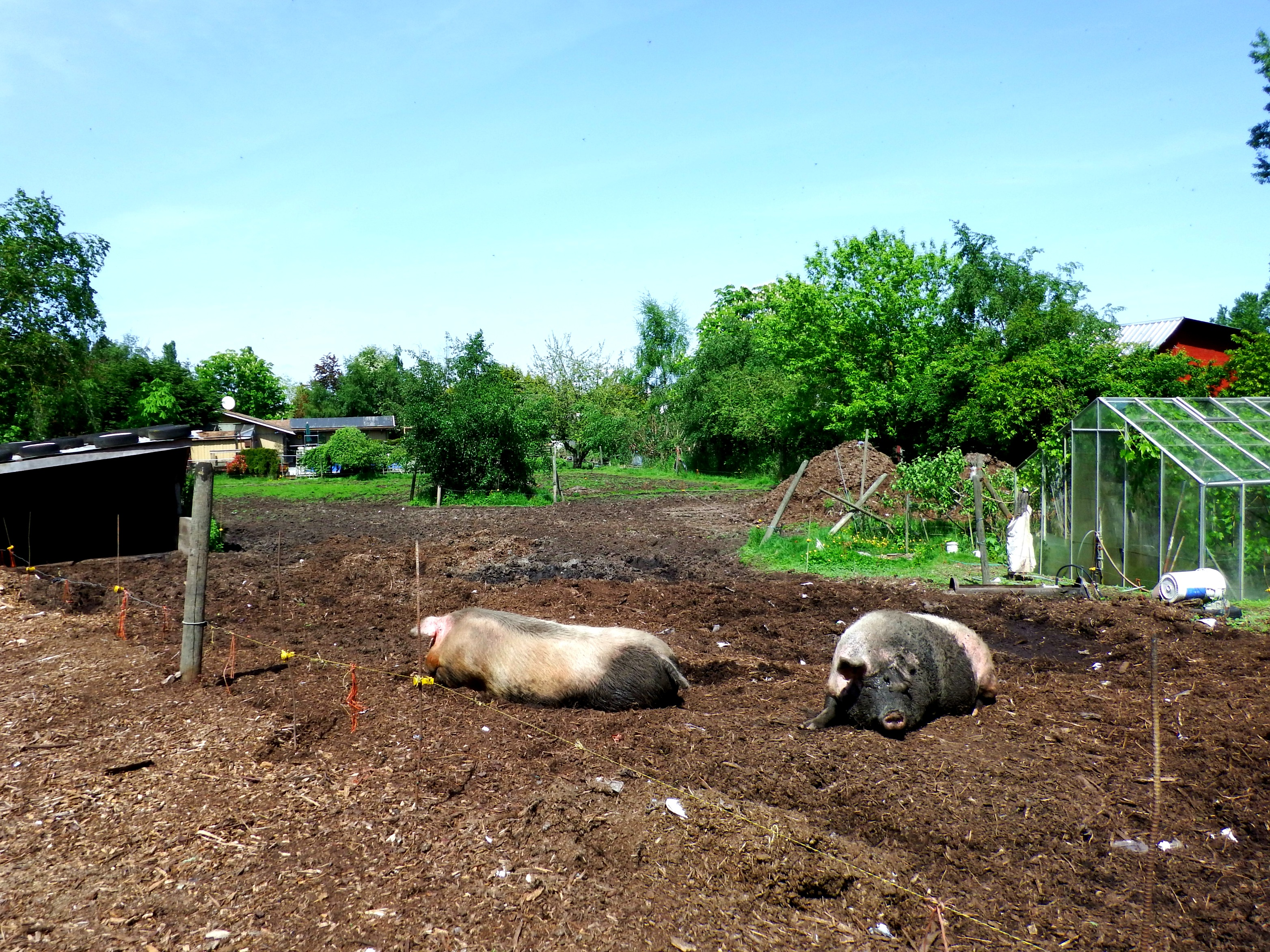 Scenes along Lochside Trail - the biggest pigs I have ever seen!