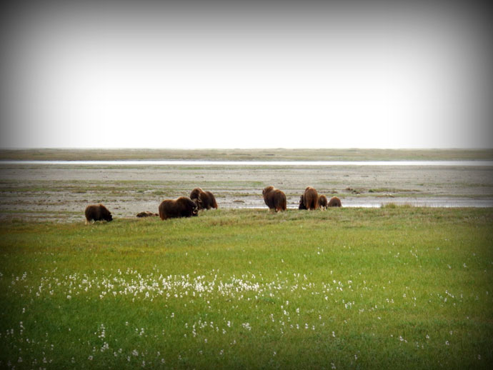 Muskox by the river